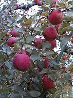 広島県北・・リンゴの季節