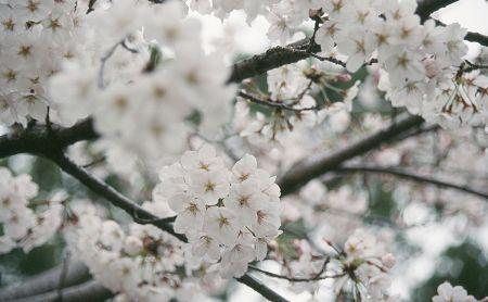 2006_sakura1