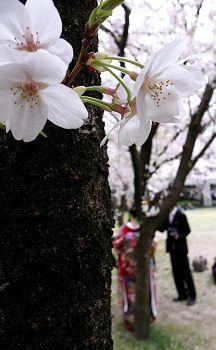 2007_sakura_s01