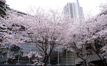 2007_sakura_s03