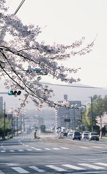 Sakura_wkannon1