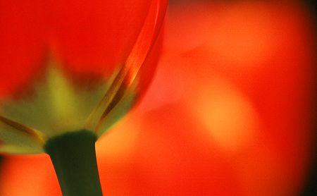 Tulip_r2