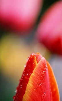 Tulip_r3_1
