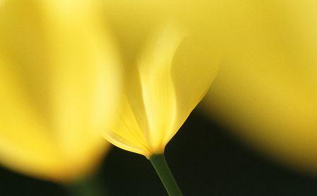 Tulip_y1
